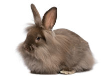 A cute lying chocolate lionhead bunny rabbit. A cute lying chocolate colored mini lionhead bunny rabbit, isolated on white background royalty free stock photography