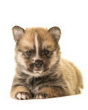 Cute lying down pomsky puppy. Cute pomsky puppy dog lying down facing the camera isolated on a white background stock photos