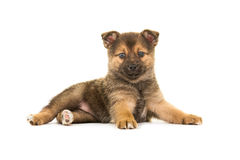 Cute lying down pomsky puppy. Cute pomsky puppy dog lying down facing the camera isolated on a white background seen from the side stock photo