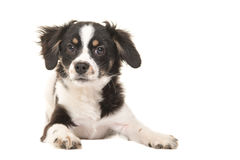 Cute lying mixed breed black and white puppy dog Stock Images