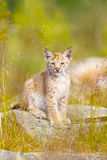 Cute lynx cub sits in grass Royalty Free Stock Photos
