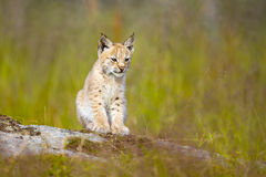 Cute lynx cub sits in meadow Royalty Free Stock Images