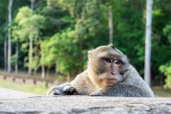 Cute Macaque Monkey at Angkor Wat Temple in Cambodia stock image