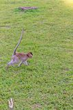 Cute macaque monkey monkey running on the lawns grass surface at ancient kingdom, Siem Reap, Cambodia.dom, Siem Reap, Cambodia Royalty Free Stock Photos