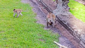 Cute macaque monkey with mother monkey running on the lawns grass surface at ancient kingdom, Siem Reap, Cambodia Stock Image