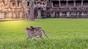 Cute macaque monkey with mother monkey running on the lawns grass surface at ancient kingdom, Siem Reap, Cambodia Stock Photo