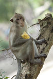 Cute macaque sitting on tree Royalty Free Stock Photos