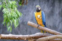 Cute macaw parrot on the perch Stock Images