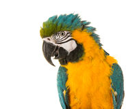 Cute macaw portrait Royalty Free Stock Photography
