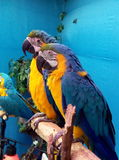 Cute Macaws Stock Image