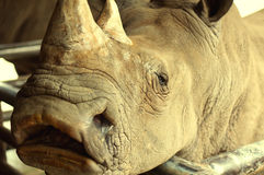 Cute macro Black Rhino. Cute macro Black Rhino standing in the wild stock images