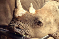 Cute macro Rhino standing with texture skin. Royalty Free Stock Photo