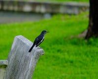 Magpie. Cute magpie in garden , Bangkok Thailand royalty free stock photography