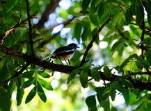 Magpie. Cute magpie in garden, Bangkok Thailand stock image