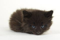 Cute Maine Coon kitten. Stock Photos