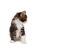 Cute Maine Coon kitten Stock Photography