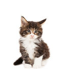 Cute Maine Coon kitten Stock Photos