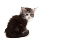 Cute Maine Coon kitten alert Stock Photography