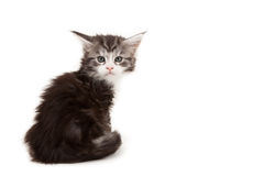 Cute Maine Coon kitten alert Stock Image