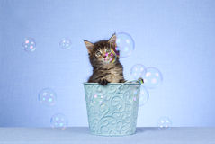 Cute Maine Coon kitten with bubbles Stock Photography