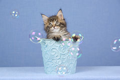 Cute Maine Coon kitten with bubbles. Cute and pretty Maine Coon kitten sitting inside blue bucket pail watching soap bubbles, on light blue fabric background stock photo