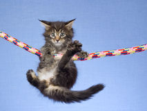 Cute Maine Coon kitten hanging from rope. Cute and pretty Maine Coon kitten hanging and holding onto colorful rope, on light blue fabric background Royalty Free Stock Photography