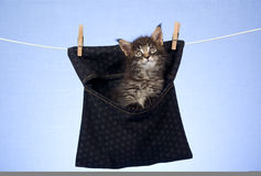 Cute Maine Coon kitten inside peg bag Royalty Free Stock Photo
