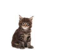 Cute Maine Coon kitten Royalty Free Stock Images