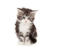 Cute Maine Coon kitten Royalty Free Stock Photography