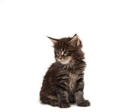 Cute Maine Coon kitten Stock Photo
