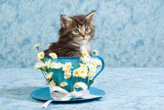 Cute Maine Coon kitten in large tea cup Royalty Free Stock Photos