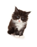 Cute Maine Coon kitten Stock Image