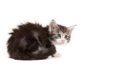 Cute Maine Coon kitten looking up Royalty Free Stock Photo