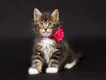 Cute Maine Coon kitten with neck collar. Cute and pretty Maine Coon kitten wearing pink glitter neck collar with rose, on black background royalty free stock photo
