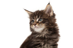 Cute Maine Coon kitten portrait Stock Photography