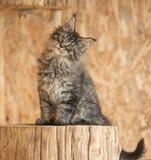 Maine Coon kitten Royalty Free Stock Photo