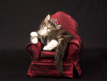 Cute Maine Coon kitten with tiara crown. Cute and pretty Maine Coon kitten sitting on miniature red chair sofa, wearing diamante crown tiara, on black background Royalty Free Stock Photography