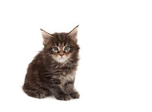 Cute Maine Coon kitten Stock Images