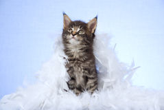 Cute Maine Coon kitten with white boa Stock Photo