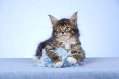 Cute Maine Coon kitten with yarn ball of wool. Cute and pretty Maine Coon kitten with blue and white ball of yarn knitting wool, on light blue fabric background Royalty Free Stock Photography