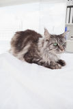 Cute maine coon lying alone Royalty Free Stock Image