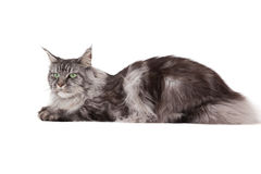 Cute maine coon lying alone Royalty Free Stock Photography