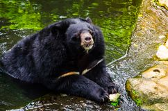 Cute malayan sun bear in relaxing moment at a water pond. Helarctos malayanus is a bear species occurring in tropical forest habitats of Southeast Asia Stock Photography