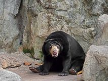 Cute Malayan Sun Bear Sit on The Ground. Closeup Cute Malayan Sun Bear Sit on The Ground Royalty Free Stock Photography
