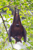 Cute male bat hanging upside down on a branch, and sticks out hi Stock Photo