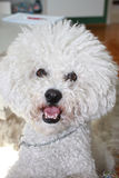 Cute male Bichon Frise Royalty Free Stock Images