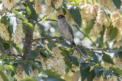 Male blackcap singing on tree. Cute male blackcap singing on tree Stock Image