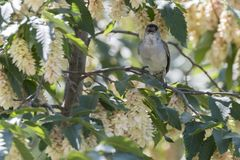 Male blackcap singing on tree. Cute male blackcap singing on tree Royalty Free Stock Photo