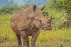 A cute male bull white Rhino in Kruger National Park. A cute male bull white Rhinoceros in Kruger National Park posing for me stock photo