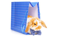 Cute male bunny with blue bow sits in present bag Stock Image
